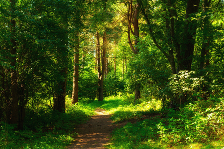 Forest landscape in sunny weather - forest trees and narrow path lit by soft sunlight. Forest nature in sunny day, diffusion filter applied