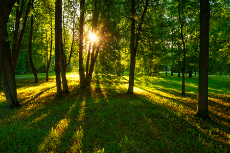 Summer park landscape - summer trees with grass on the foreground and sunlight shining through the trees