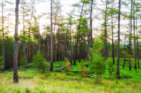 Forest landscape with pine forest trees on the mountain slope . Mountain forest summer nature scene, diffusion filter applied 写真素材