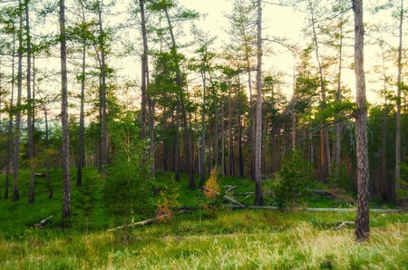 Forest landscape with pine forest trees on the mountain slope . Mountain forest summer nature scene, diffusion and soft filter applied 写真素材
