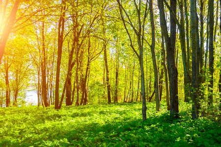 Summer forest landscape in sunny weather. Forest trees under soft sunlight. Forest nature in sunny day
