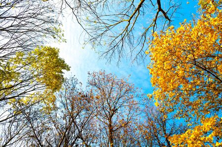 Autumn trees backgorund - orange autumn trees tops against blue sunny sky. Autumn natural view of golden forest trees