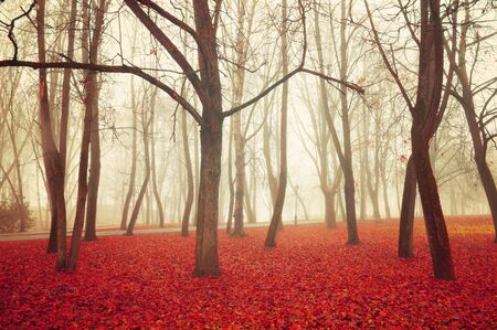 Fall in November. Foggy fall dusky landscape with bare fall trees and red fallen leaves. Fall park in dense fog. Soft filter applied