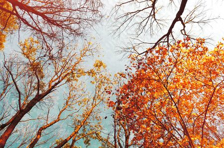 Fall tree tops - orange fall tree tops against blue sky. Fall trees branches on the background of blue sky in sunny fall weather Stock fotó