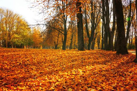 Autumn sunny landscape. Autumn park trees and fallen autumn leaves on the ground along the park alley in sunny October day. Selective focus at the foreground