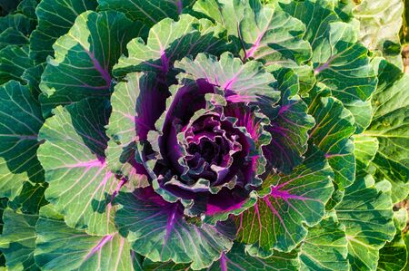 Ornamental Kale, in Latin Brassica oleracea var. acephala. Autumn background with ornamental kale of green and purple color