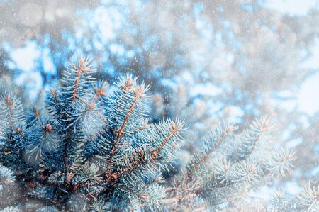 Christmas winter snowy background. Blue pine tree branches under winter falling snow, closeup of winter forest nature with free space for Christmas text Foto de archivo
