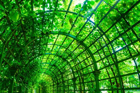 Summer landscape - metal ached tunnel covered with green climbing plants, summer garden landscape with soft sunlight Stock fotó