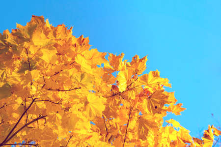 Fall leaves background with free space for text. Colorful orange fall maple leaves against blue sky. Fall background with golden leaves