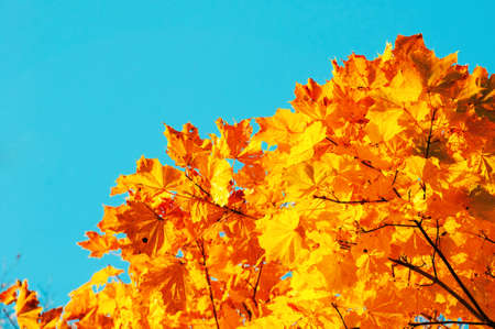 Autumn leaves background with free space for text. Colorful orange autumn maple leaves against blue sky. Autumn background with golden leaves