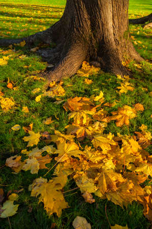 Fall maple leaves on the ground. Fall city park, yellow fallen leaves lit by sunset light. Colorful fall park