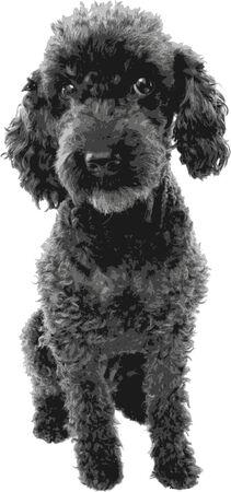 Poodle - vector work