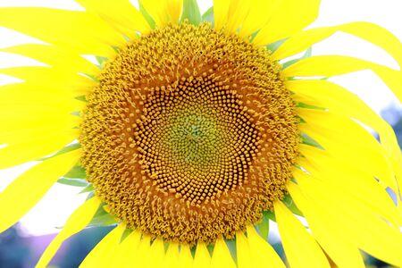 nifty: zonnebloem Stockfoto