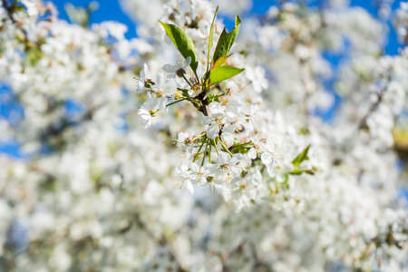 blooming cherry in the spring garden. Bloom close up. White flowers of cherry blossomed. Orchard. High quality photo Foto de archivo