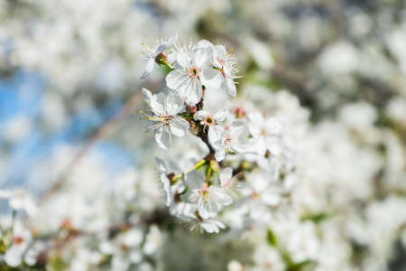 blooming cherry in the spring garden. Bloom close up. White flowers of cherry blossomed. Orchard. High quality photo