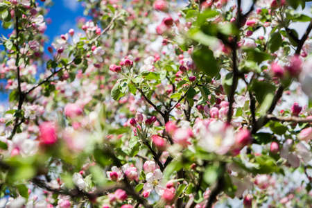 apple tree blossom in spring. Pink Blooming apple tree. Bloom close up. Pink flowers of apple tree. Orchard Wallpaper. High quality photo