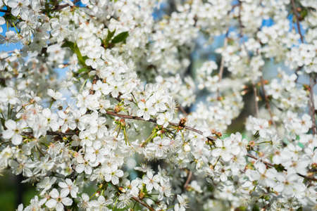 blooming cherry in the spring garden. Bloom. White flowers of cherry blossomed. Orchard. High quality photo