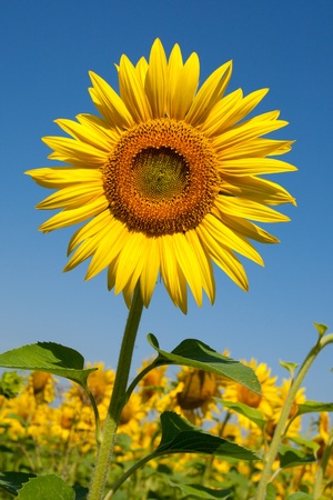 Sunflower Stock Photo - 15623362