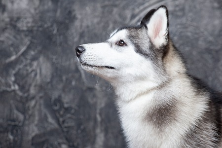 young dog husky on a gray background in the studio .large plan