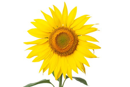 sunflower closeup on white background, isolate