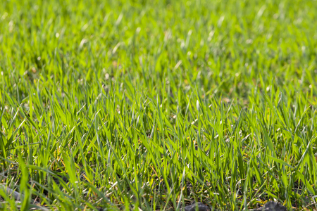 young sprouts of sprouted wheat on open ground in a field