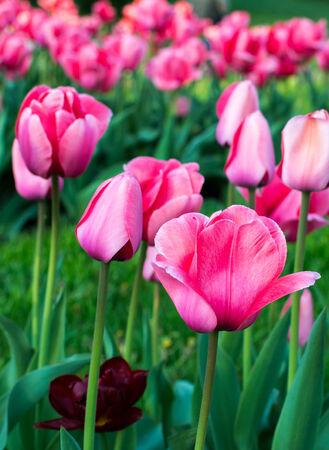 kyiv: Tulips from Kyiv  botanical garden