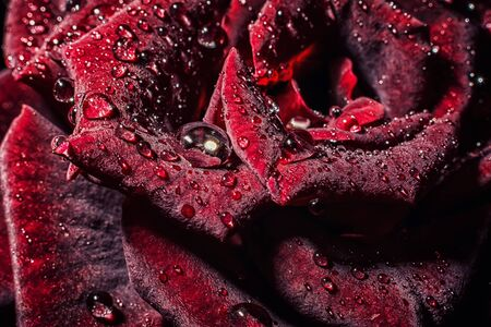 velvety: Closeup rose flower with drops