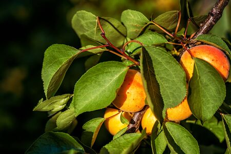 apricot tree: Ripe apricots growing on the apricot tree Stock Photo
