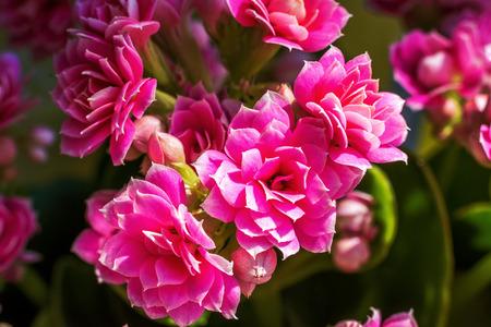 blossoming: Blossoming calanhoe Stock Photo