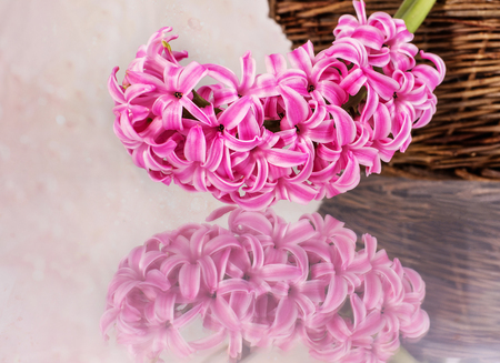 wedding celebration: Postcard with fresh flowers hyacinths on pink background Stock Photo