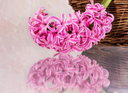 fondo elegante: Tarjeta postal con flores frescas jacintos en el fondo de color rosa