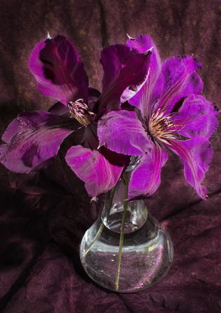 clematis flower: Purple clematis flower on a dark background