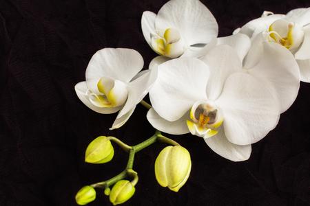 orchidea: White close up orchidea
