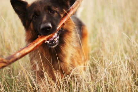 German Shepherd for a walk with a stick in its mouth Stock Photo