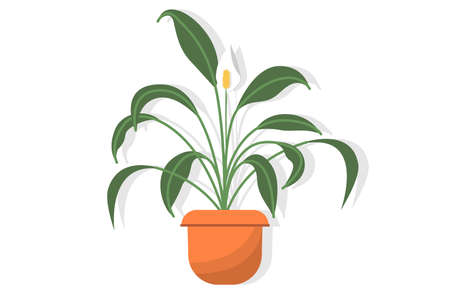 Potted houseplant spathiphyllum with delicate white flowers with decorative spots, also known as peaceful lily or feminine happiness, isolated on white background Illusztráció