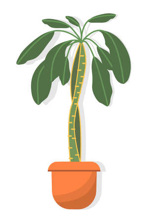 Potted houseplant spurge palm, also known as euphorbia with green leaves and a thick stem in brown pot, isolated on white background