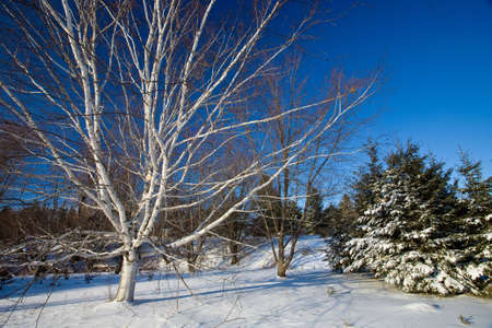Winter scenic of some Birch trees amidst a blue sky on a sunny day. Shot in Waterloo, Ontario, Canada.