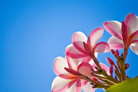 Close-up of a Plumeria plant from a low angle against a perfect blue sky. Shot in Oahu, Hawaii.