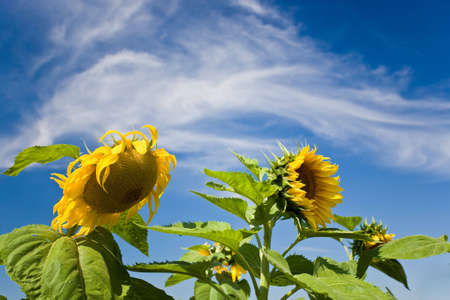 Sunflowers are sunlit aginst a blue sky. Stock Photo