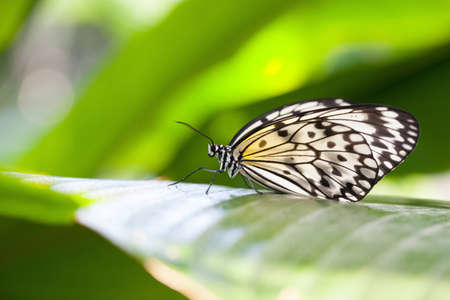 Closeup of a Paper Kite butterfly resting on a leaf. Stock Photo