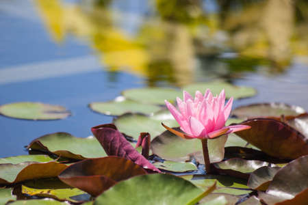 A pink lilypad floats in a pond on a sunny day.
