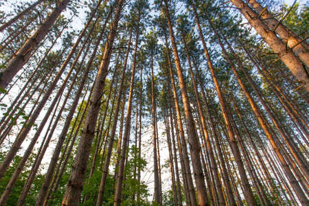 A group of tall trees tower into the sky in an Ontario forest.