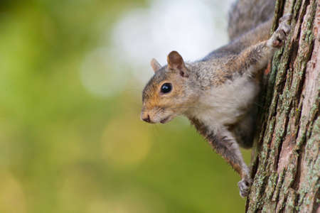 genera: A squirrel peeks around the side of a tree.
