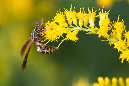 A wasp feasts on a Goldenrod. Stock Photo