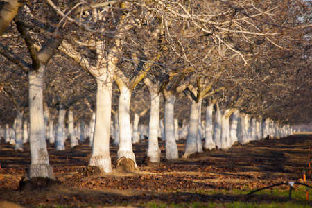 An almond orchard shines in the sunlight. Stock Photo