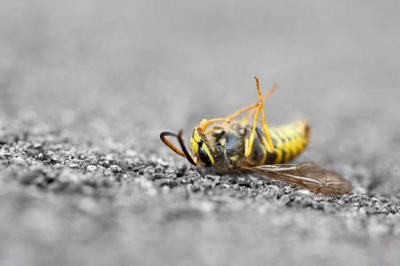 A dead Yellowjacket wasp is laying upside down on the ground