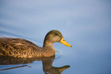 A female Mallard duck is floating in a perfectly still pond  Stock Photo