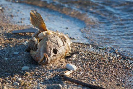 Closeup of a dead fish that washed up on shore  Stock Photo