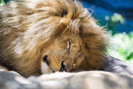 Closeup of a lion resting his head in the sunshine  Stock Photo