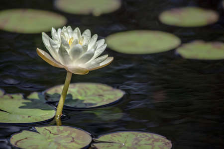Closeup of a white water lily on a pond